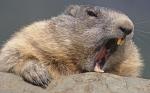 Beaver Fever logo