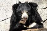 Sloth Bear of Mysore logo